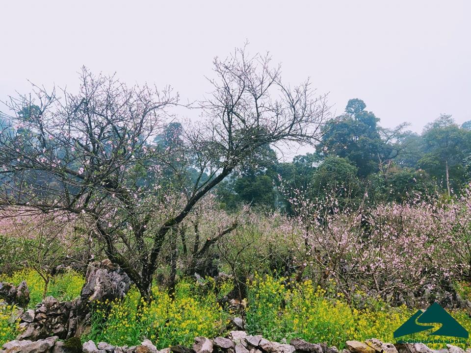hoa dao long luong van ho (1)